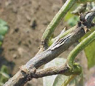 Ashy stem blight